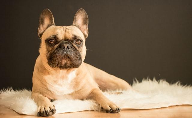 french-bulldog-mat
