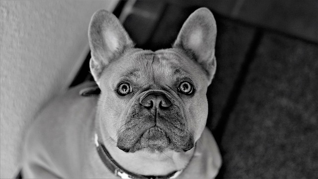 separation_anxiety_french_bulldog