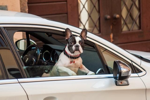 french-bulldog-car