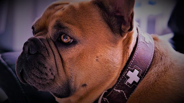 french-bulldog-aging